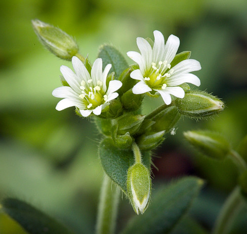 Chickweed for skincare