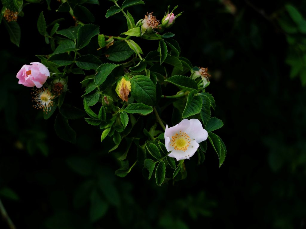 Wild roses for skincare
